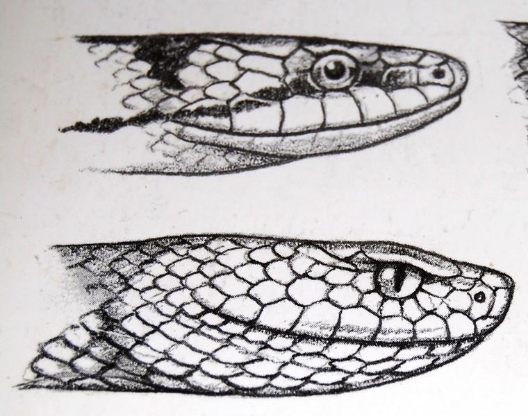 Výsledek obrázku pro rozdíl mezi zmijí a užovkou